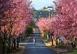 Đà Lạt Mùa Xuân – Lạc Lối Với Vẻ Đẹp Hoa Mai Anh Đào