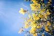 Vẻ Đẹp Đà Lạt Đầy Sức Sống Mùa Hoa Mimosa