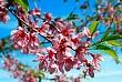 Vẻ Đẹp Hoa Mai Anh Đào - Biểu Tượng Mùa Xuân Đà Lạt