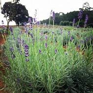 Vườn hoa oải hương đẹp đến mê hồn ở Đà Lạt