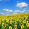 Một mùa hoa hướng dương nữa lại về