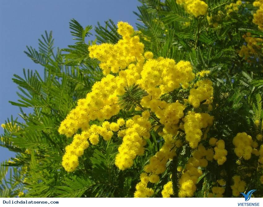 Du lịch Đà Lạt với sắc vàng mimosa rực rỡ