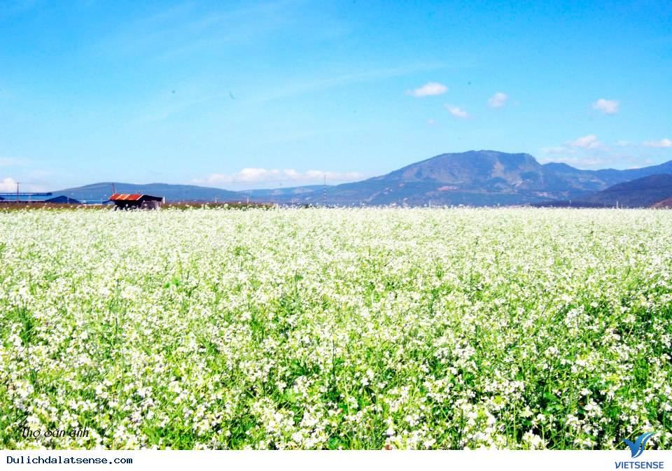 Du lịch mùa hoa cải trắng Đà Lạt